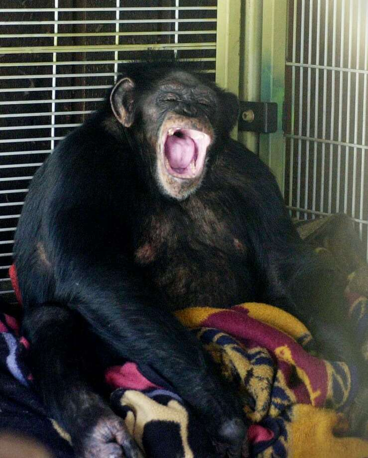 Travis, a 10 year old chimpanzee, sits in the corner of his playroom at the home of Sandy and Jerome Herold. On Feb. 16, 2009, he brutally attacked a friend of his owner's, leading to police to fatally shoot him. Photo: Kathleen O'rourke / ST