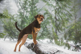 """In the movie """"A Dog's Way Home,"""" former Tennessee shelter dog Shelby portrays Bella, a pet who embarks on a long journey in search of her owner."""