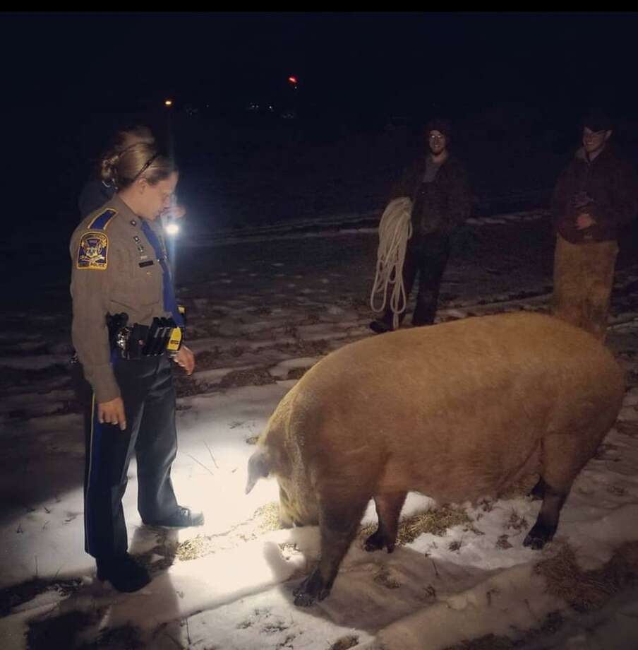 Two state troopers and two residents rescued an escaped pig on Saturday evening. Photo: / Connecticut State Police Troop B Facebook /Contributed Photo