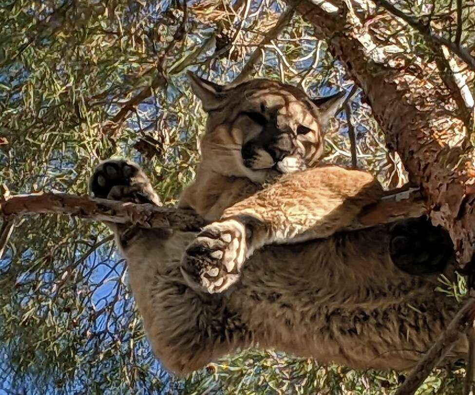 In this Saturday, Feb. 16, 2019, courtesy of the California Department of Fish & Wildlife Crews shows a mountain lion in a tree outside a private residence in the City of Hesperia, Calif. (Rick Fischer/California Department of Fish & Wildlife via AP)