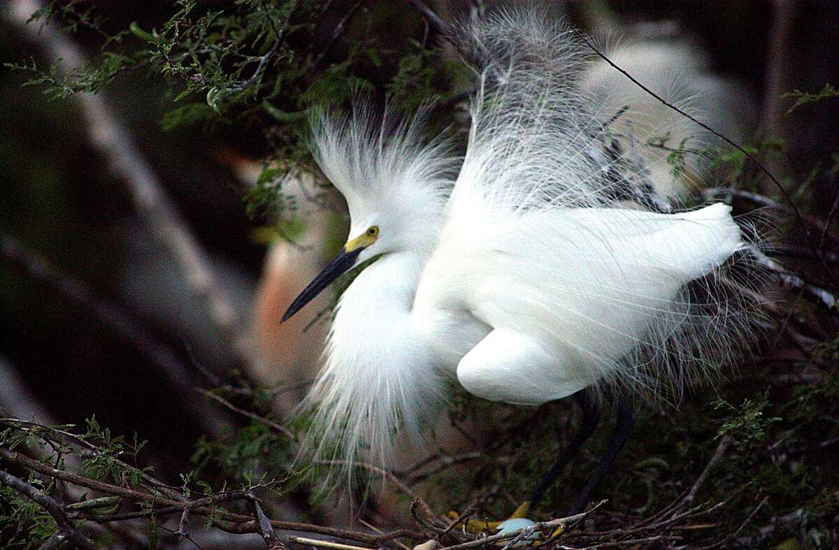Egrets roost at Elmendorf Lake Park, but the military has said they pose a flight risk to aircraft. The USDA has a nonlethal, humane mitigation plan to deter the birds from the park.