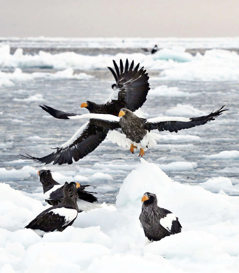 STANDALONE PHOTO: Steller's sea eagles flapping their distinctive black-and-white wings swoop down one after another on drift ice off the town of Rausu, Japan, on the Shiretoko Peninsula in Hokkaido. Photo: Japan News-Yomiuri / Japan News-Yomiuri
