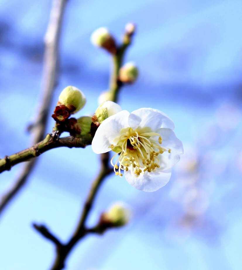 STANDALONE PHOTO: A plum blossom is among five or six early arrivals at the Kofu (Japan) Local Meteorological Office. The office announced plum trees in the city had started blooming, five days earlier than in an average year and 12 days earlier than last year. The office's white plum tree at the office is used as the standard. Photo: Japan News-Yomiuri / Japan News-Yomiuri