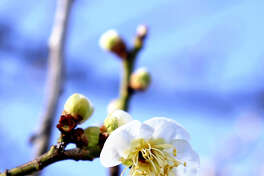 STANDALONE PHOTO: A plum blossom is among five or six early arrivals at the Kofu (Japan) Local Meteorological Office. The office announced plum trees in the city had started blooming, five days earlier than in an average year and 12 days earlier than last year. The office's white plum tree at the office is used as the standard.