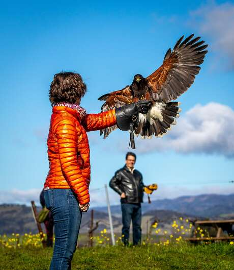 Elaine McCann with Mariposa, a Harris's hawk at the Falconry Vineyard Tour at Bouchaine Winery in Napa, Calif. Photo: John Storey / Special To The Chronicle