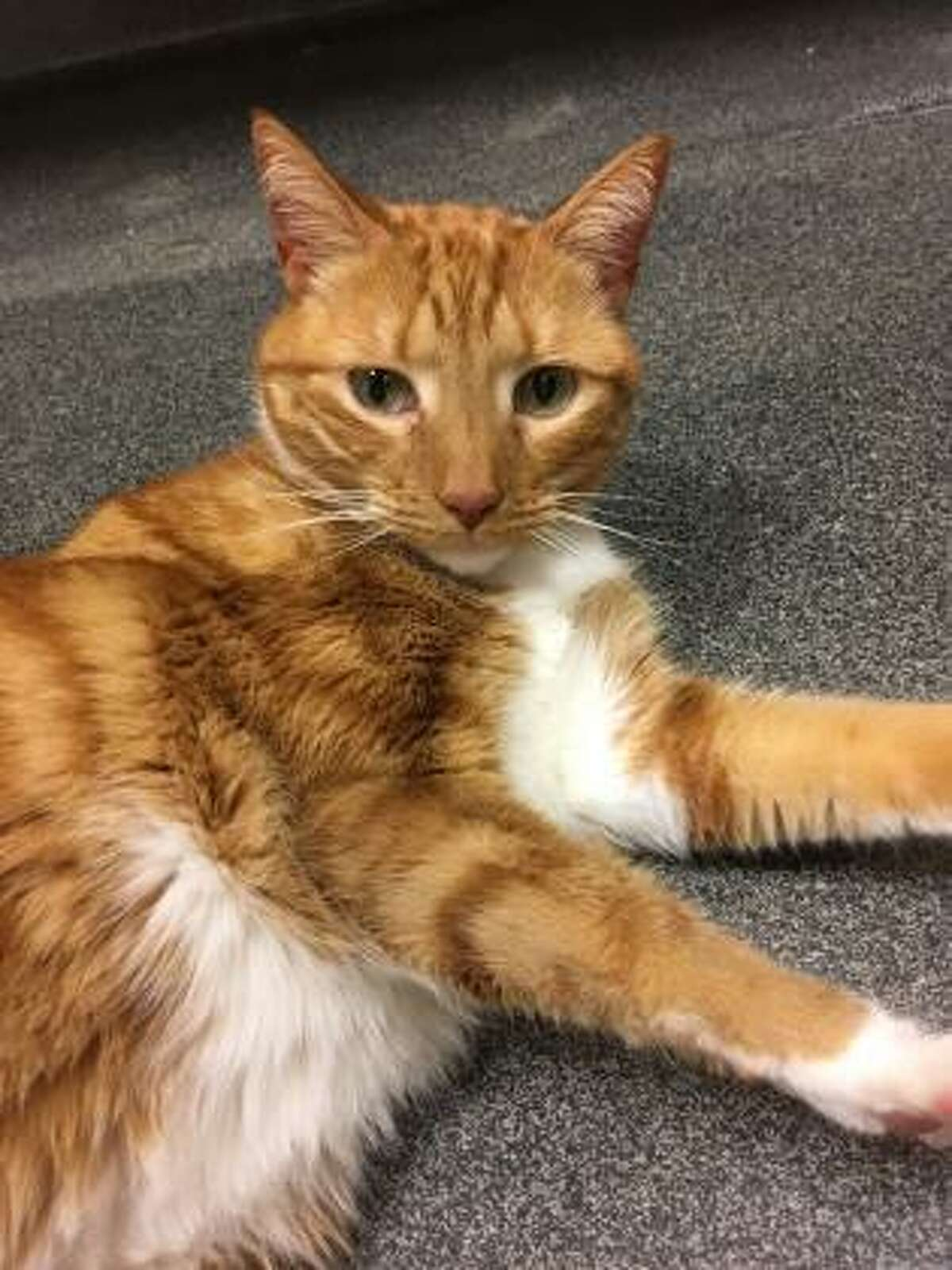 This is beautiful orange and white Melonie, and she is a quiet and reserved 5-year-old kitty. She does seem to be comfortable around people and loves company. Melonie would like to live with kids over 12 years of age. Melonie has not had much experience with cats or dogs but she may be willing to consider sharing her home with a furry friend. Do you have a peaceful home that you would like to share with Melonie? Visit her at our Westport location. Remember, the Connecticut Humane Society has no time limits for adoption. Inquiries for adoption should be made at the Connecticut Humane Society located at 701 Russell Road in Newington or call toll free: 1-800-452-0114.