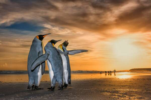 """Three Kings by Wim Van Den Heever,"" South Africa Wim came across these king penguins on a beach in the Falkland Islands just as the sun was rising. They were caught up in a fascinating mating behavior -the two males were constantly moving around the female using their flippers to fend the other off."