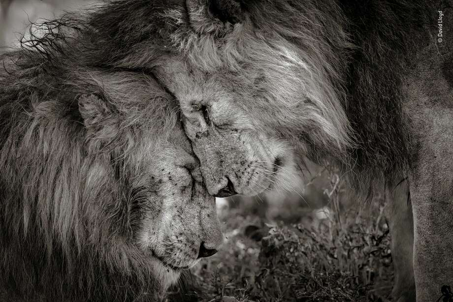 """Bond of Brothers"" by David Lloyd, New Zealand / UK