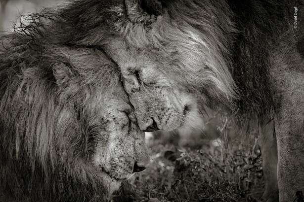 """""""Bond of Brothers"""" by David Lloyd, New Zealand / UK These two adult males, probably brothers, greeted and rubbed faces for 30 seconds before settling down. Most people never have the opportunity to witness such animal sentience, and David was honored to have experienced and captured such a moment. The picture was taken in Ndutu, Serengeti, Tanzania."""