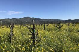At Yount Mill Vineyard in Napa Valley, mustard cover crop is in full bloom.
