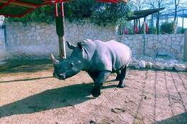 Ophelia is one of the new rhinoceroses that arrived at the San Antonio Zoo this week. She is staying in the newly-renovated Savanna exhibit. The exhibit will celebrate its grand opening March 2, 2019.