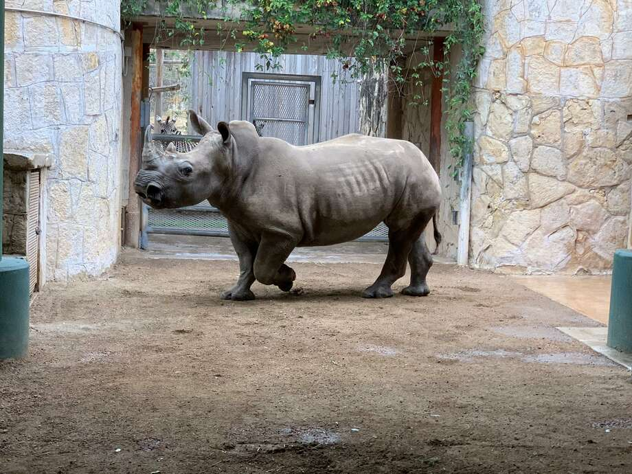 Nyota is one of the new rhinoceroses that arrived at the San Antonio Zoo this week. She is staying in the newly-renovated Savanna exhibit. The exhibit will celebrate its grand opening March 2, 2019. Photo: Courtesy Of San Antonio Zoo