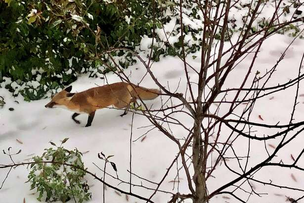 Theresa Vargas photographed this fox in her northern Virginia backyard on Nov. 15.