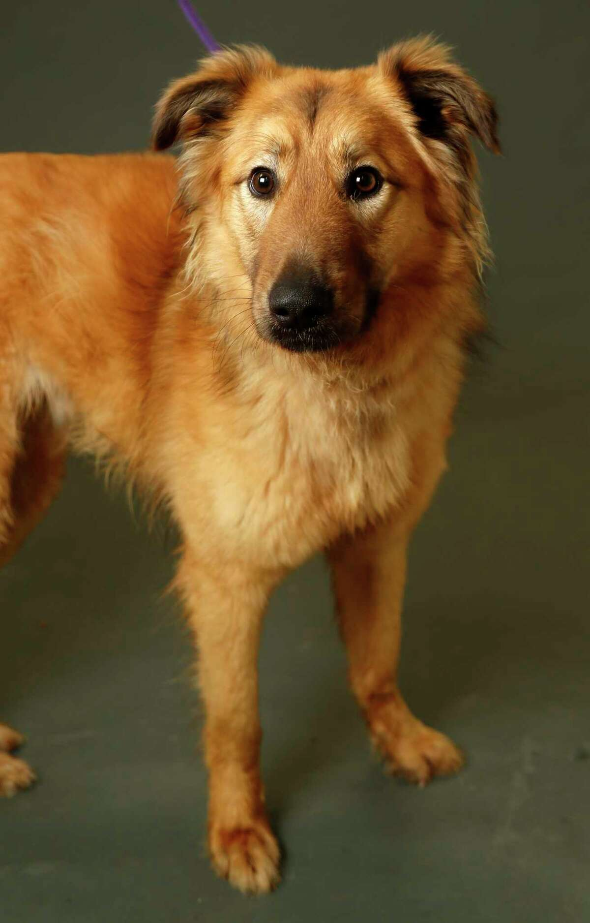 Bashful is a 1-year-old, male, Golden Retriever mix and is ready to be adopted from the Houston Humane Society. (Animal ID: 40728143) Photographed Wednesday, Feb. 20, 2019, in Houston. Bashful is a sweet, friendly dog who loves to go for walks on his leash.