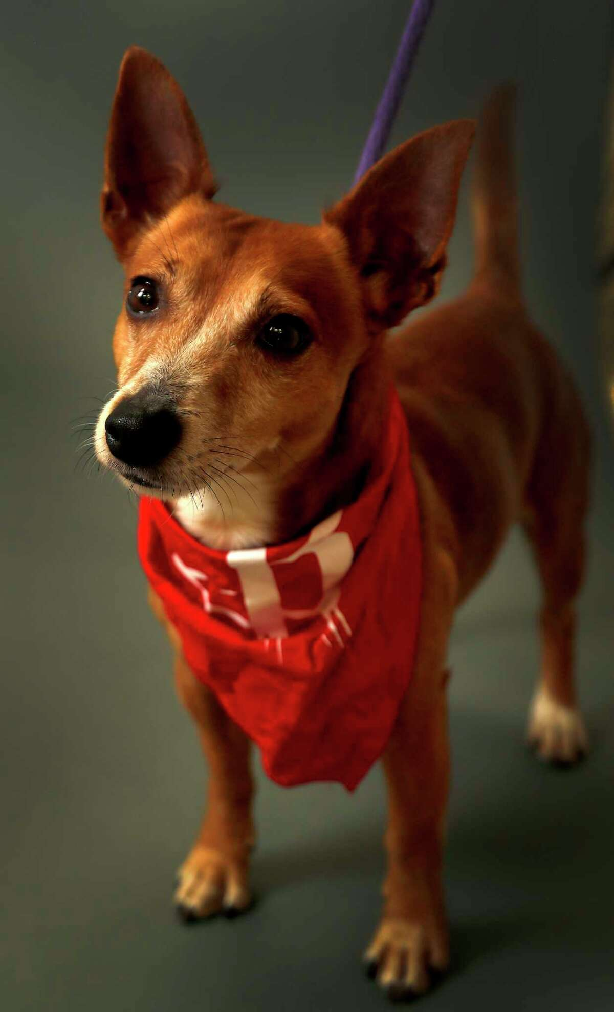 Cheddar is a 7-year-old, male, Chihuahua mix and is ready to be adopted from the Houston Humane Society. (Animal ID: 40773277) Photographed Wednesday, Feb. 20, 2019, in Houston.
