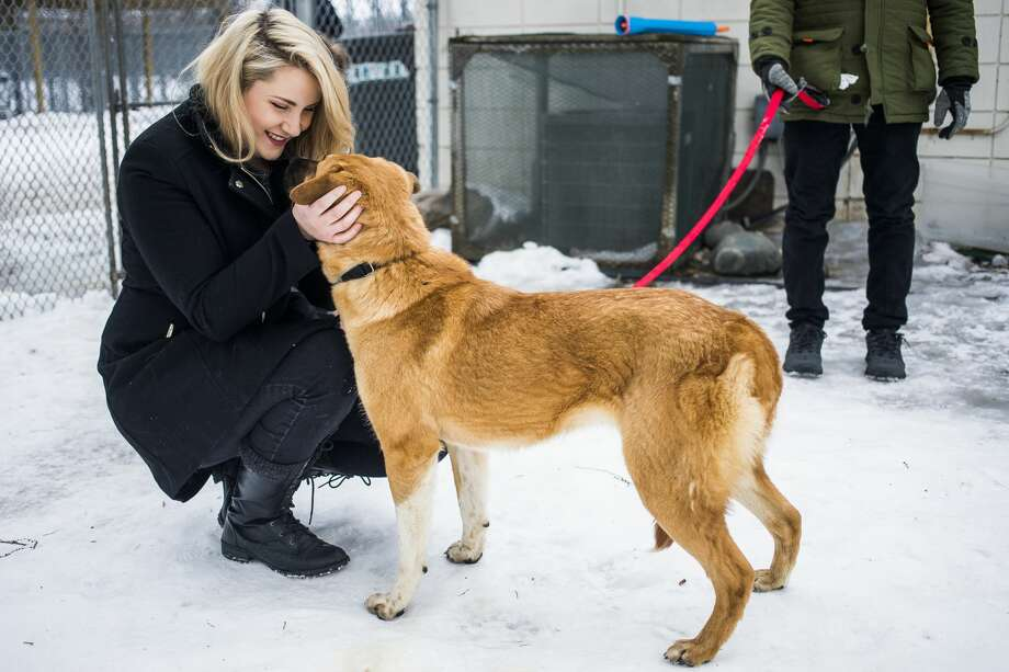 Barbiche, a 1-year-old Lab/Jindo mix, enjoys some attention from Hannah Gradowski of Bay City, left, on Wednesday, Feb. 20, 2019 at the Humane Society of Midland County. Barbiche is one of five dogs who were brought to the shelter after they were rescued from a dog meat farm in South Korea. (Katy Kildee/kkildee@mdn.net) Photo: (Katy Kildee/kkildee@mdn.net)
