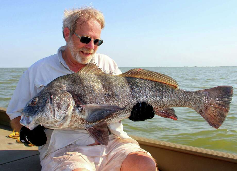 Black drum gathering for their annual spawn offer coastal anglers opportunity to enjoy catch-and-release fishing for a big, powerful and cooperative quarry when fishing for other popular species remain in winter doldrums. Photo: Shannon Tompkins / Houston Chronicle