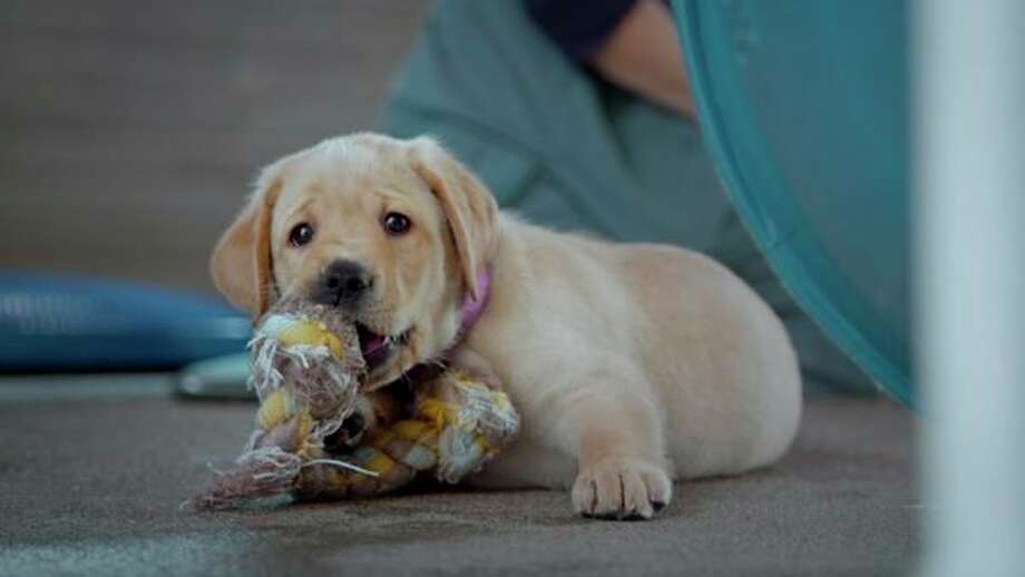 "Feb. 22-24: Matrix:Midland Cinema presents ""Pick of the Litter,â€� a documentary that follows a litter of puppies from the moment they are born and begin their quest to become Guide Dogs for the Blind. (photo provided)"