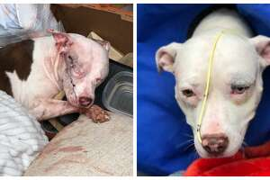 Karma is a young pitbull that was found in a Northwest apartment complex dumpster with a gunshot wound to her head earlier this month. Volunteers with a Chance to Bloom Dog Rescue said she is on the mend, but they are determined to find the person responsible for her injuries. The organization is offering a $2,500 cash reward for information leading to an arrest.
