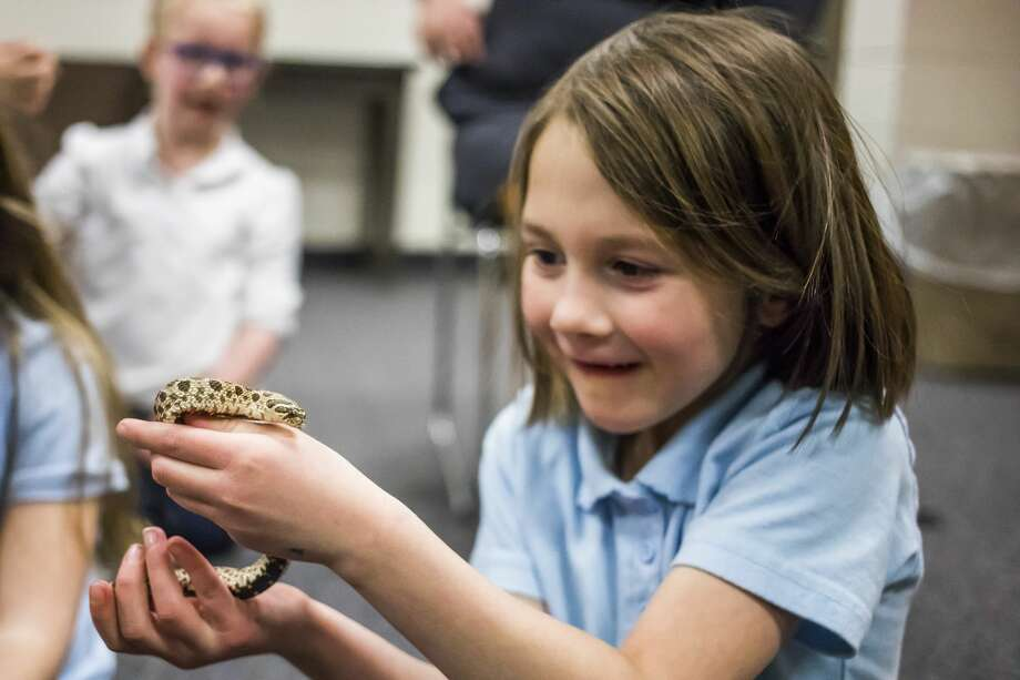 Blessed Sacrament kindergartener April Gwizdala, 6, holds onto a hognose snake during a live animal presentation by Principal Patrick Bevier on Wednesday, Feb. 20, 2019 at the school. (Katy Kildee/kkildee@mdn.net) Photo: (Katy Kildee/kkildee@mdn.net)