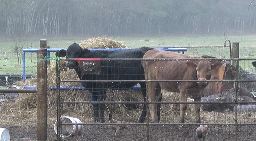 Malnourished cows seized in Liberty County