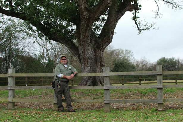 League City tree expert Rusty Bolen cares for a century-old oak that was relocated to Ghirardi Water Smart Park.