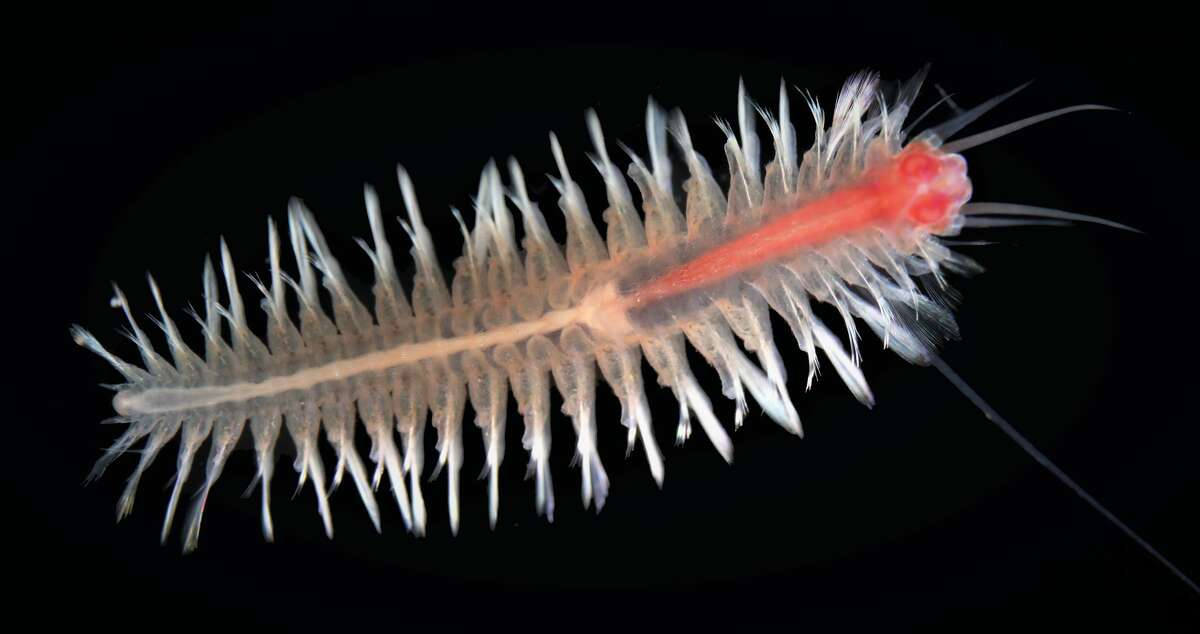 Swimming scale worm Pelagomacellicephala iliffei was named after Texas A&M Galveston professor Tom Iliffe who discovered it during a 1982 expedition to the Caicos Islands.