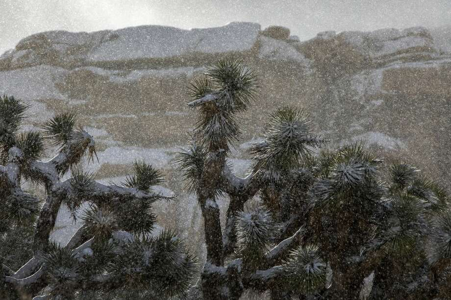 JOSHUA TREE, CA - FEBRUARY 21: Snow falls on Joshua trees in Joshua Tree National Park on February 21, 2019 in Joshua Tree, California. A series of storms have been giving the state a much needed chance to restore some water to storage systems that have been depleted by years of drought.  (Photo by David McNew/Getty Images) Photo: David McNew/Getty Images