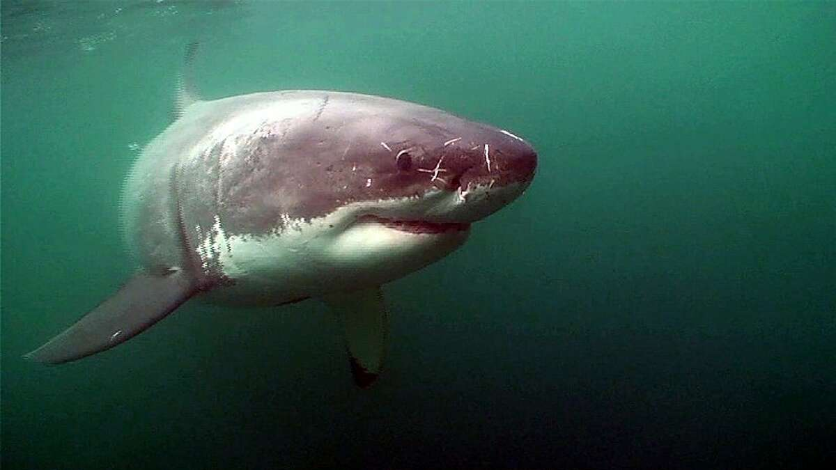 A great white shark swims in the waters off the Farallon Islands in this undated handout picture from Stanford University.
