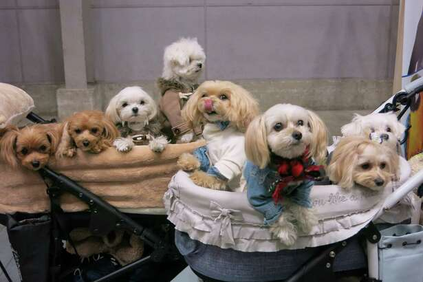 Pets are pampered from Paris to Portland, but Japan is a country that takes dog ownership to another level. Show, fashionable dogs at the Yokohama Pet Fair on Jan. 14, 2019.