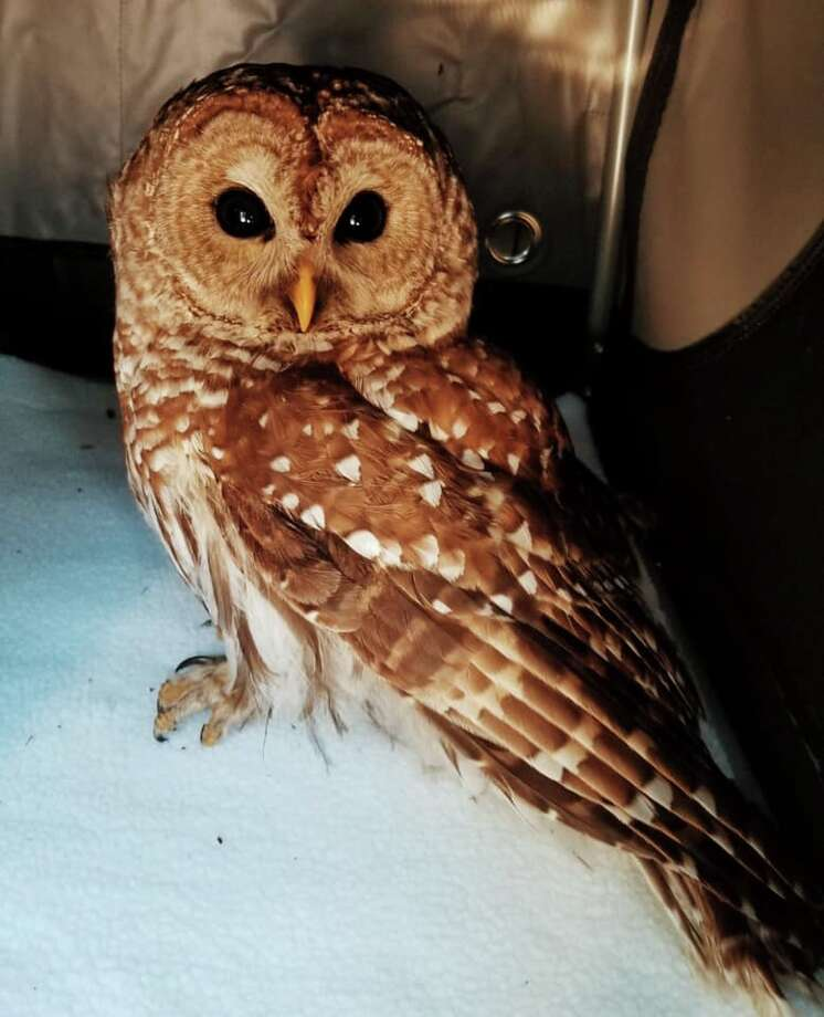 A Hamden police officer rescued this owl found on Elmer Avenue Wednesday, Feb. 20, 2019. Photo: Hamden Police Department Facebook Page