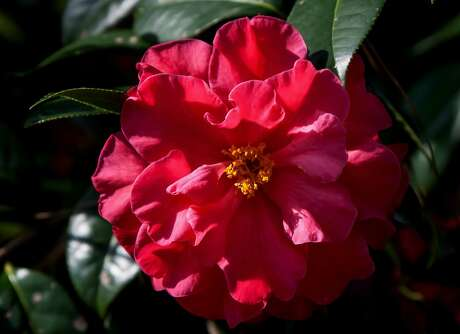 Frank Houser is a Camellia reticulata hybrid producing enormous blossoms. (Norman Winter/TNS)