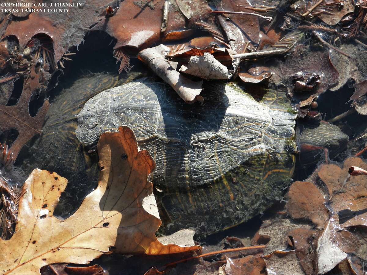The Texas Parks and Wildlife Department is investigating several occurrences of dead or dying turtles at locations around Texas. The department has documented about 60 deaths since the occurrences were first noticed in November.