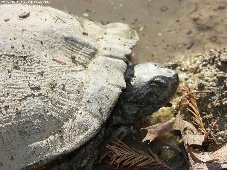 The Texas Parks and Wildlife Department is investigating several occurrences of dead or dying turtles at locations around Texas. The department has documented about 60 deaths since the occurrences were first noticed in November. Photo: Courtesy Of Carl Franklin‎, Texas Turtles Facebook Group