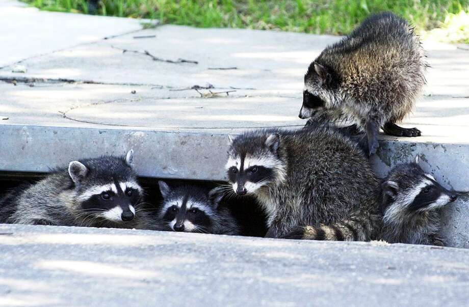 Raccoons use storm drains as highways to travel from their dens into neighborhoods as they look for food. Photo: Gina Halferty / TNS / Mercury News