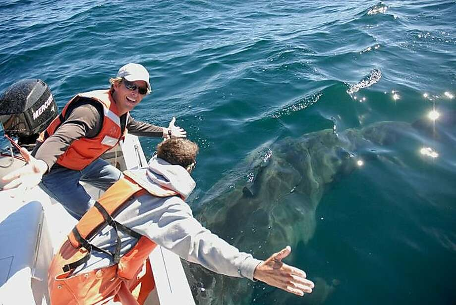 Salvador Jorgensen (left), a senior research scientist at the Monterey Bay Aquarium, after he put a tag on a great white shark. Their numbers off the Bay Area coast have skyrocketed. Photo: Monterey Bay Aquarium