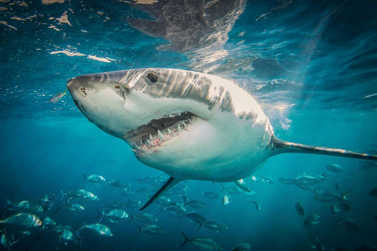 THE NEPTUNE ISLANDS, SOUTH AUSTRALIA - JUNE 2014: A great white shark heads towards the camera, just below the surface of the water, taken at The Neptune Islands, South Australia, June 2014.