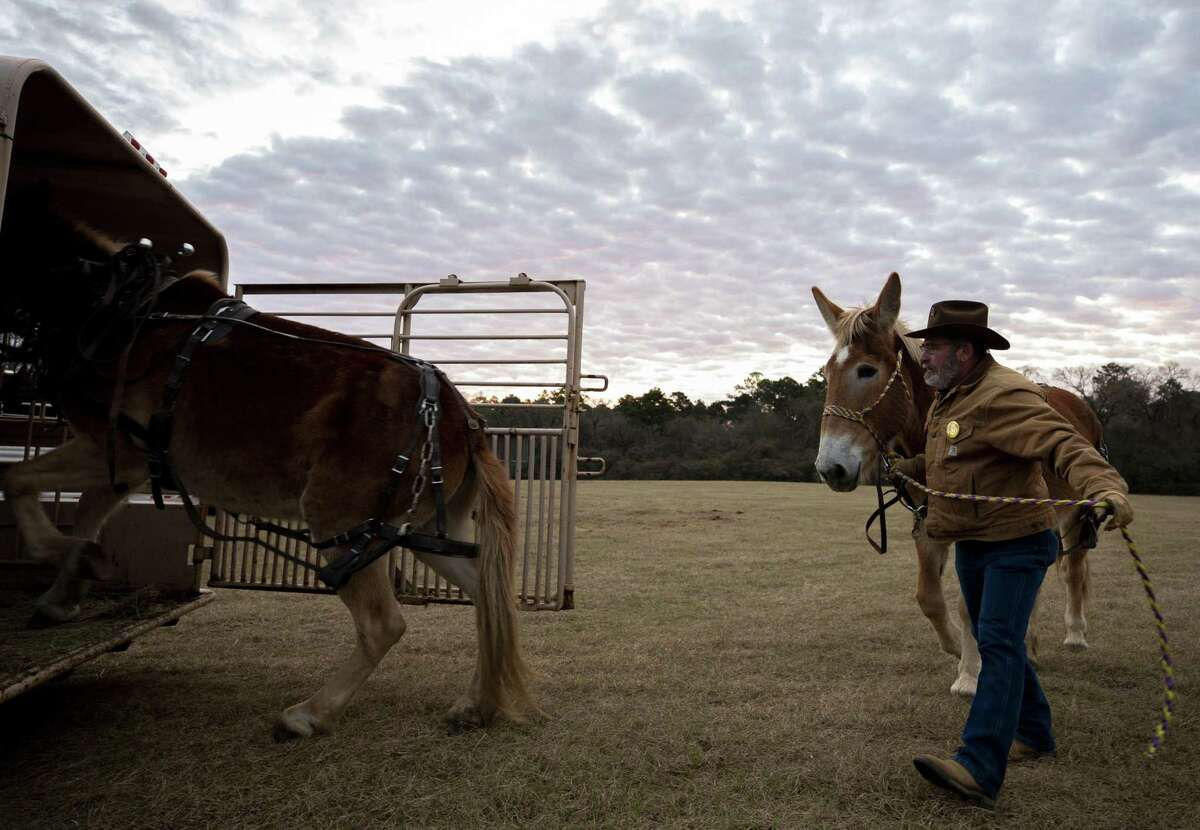 Dale Hilsgen, 71, loads up a mule as Sam Houston Trail Ride participants get ready to start their 70-mile journey from Montgomery to Houston Monday, Feb. 18, 2019.