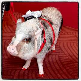 LiLou the therapy pig attends the SFS Chinese New Year gala. Feb. 16, 2019.