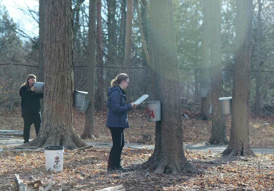 Lisa Monachelli, Director of Education at Stamford Museum & Nature Center, left, and Kendall Musgrave, Environmental Education Supervior, set up buckets to collect maple sap to be processed into maple syrup at the Stamford Museum & Nature Center in Stamford, Conn. Monday, Feb. 25, 2019. Maple sugaring season is in full swing as the center has already harvested 1800 gallons of sap, which can produce about 45 gallons of maple syrup, from the 450 tapped trees. The Nature Center held a kids maple sugaring program on Sunday in the new Sugar House & Cidery, which recently opened as part of the renovations. Photo: Tyler Sizemore / Hearst Connecticut Media / Greenwich Time