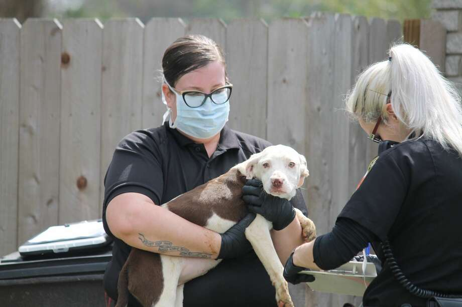 Animal Care Services seized 23 dogs from a home in the 300 block of Brettonwood Drive on Feb. 26, 2019. Photo: Fares Sabawi/San Antonio Express