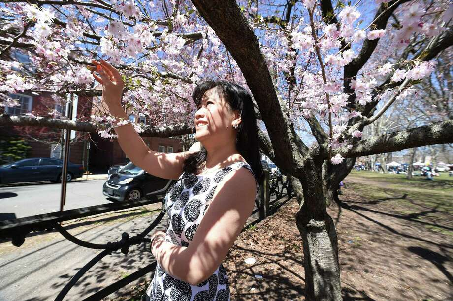 Enjoy the sight of blossoming Cherry Blossoms in Wooster Square as they celebrate the occasion with the 46th Annual Cherry Blossom Festival, on Sunday. Find out more. Photo: Arnold Gold / Hearst Connecticut Media / New Haven Register