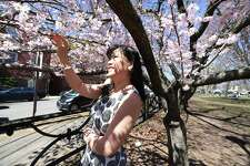 Trang Nguyen of Southington is photographed under a blooming cherry tree in Wooster Square Park during the 45th annual Cherry Blossom Festival in New Haven on April 22, 2018.