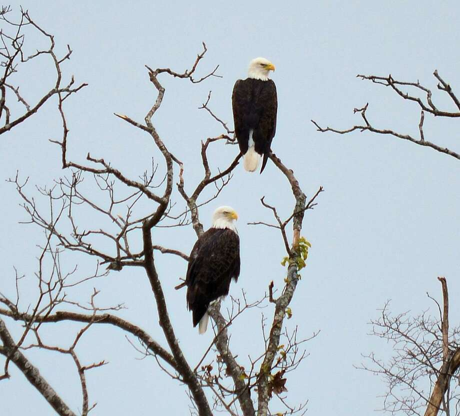 RiverQuest and the Connecticut River Museum's Winter Wildlife Eagle Boat Cruises provide an opportunity to observe animals and birds in their winter habitat. Photo: Contributed Photo