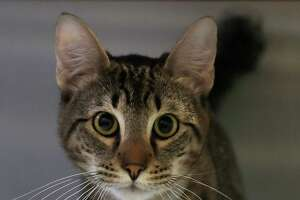 Kitty-Kitty is a 9-months-old, male, Domestic Shorthair mix and is ready to be adopted from BARC Houston Animal Shelter. (Animal ID: A1611130) Photographed Wednesday, Feb. 27, 2019, in Houston.