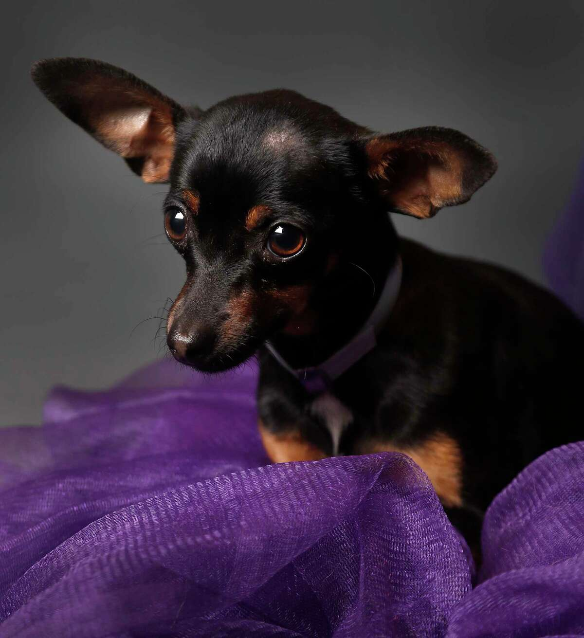 Raven is a 7-month-old, female, smooth-coat Miniature Pinscher/Chihuahua mix and is ready to be adopted from BARC Houston Animal Shelter. (Animal ID: A1610698) Photographed Wednesday, Feb. 27, 2019, in Houston.