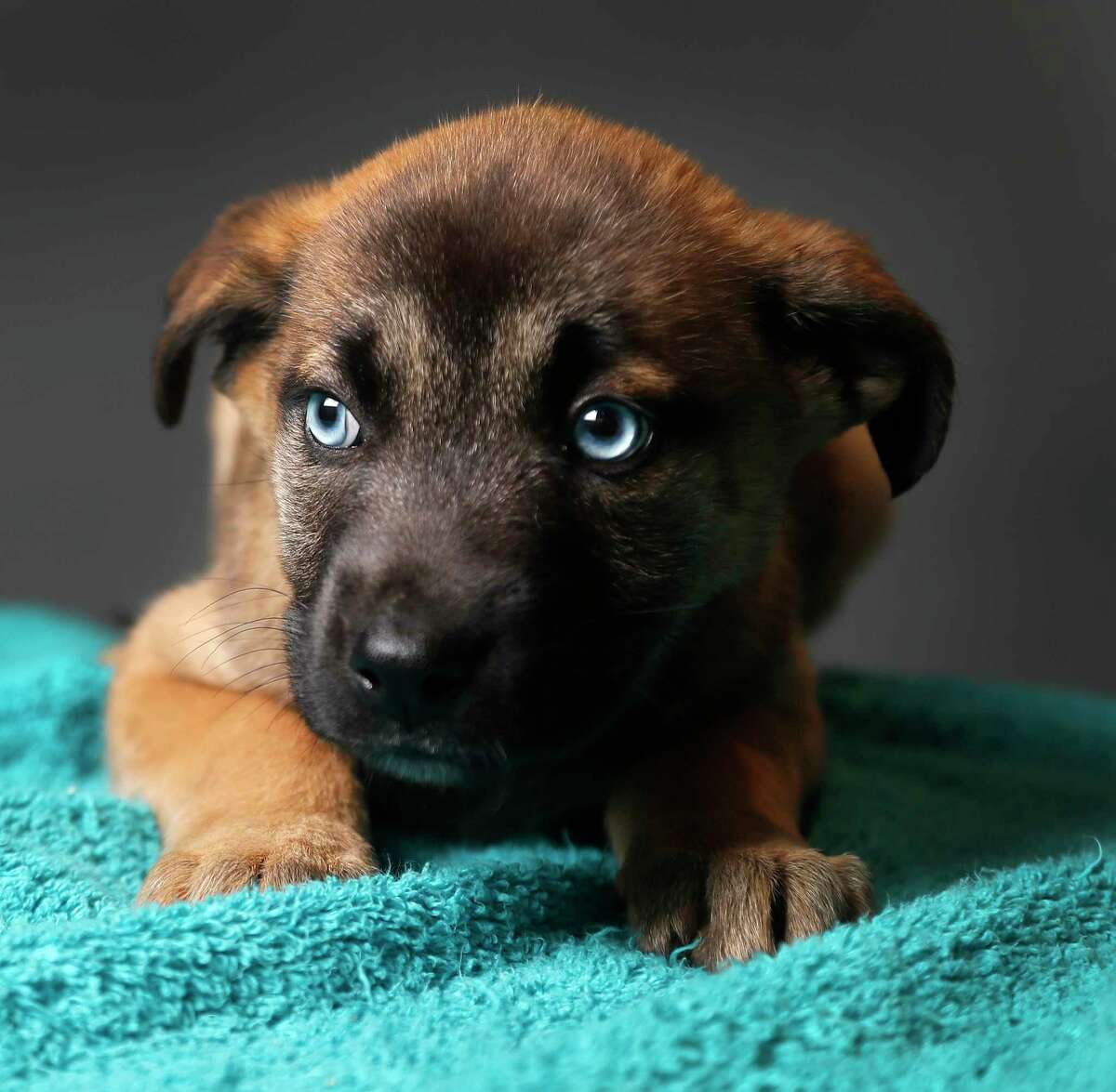Sienna is a 2-month-old, female, German Shepherd/Siberian Husky mix and is ready to be adopted from BARC Houston Animal Shelter. (Animal ID: A1611238) Photographed Wednesday, Feb. 27, 2019, in Houston.