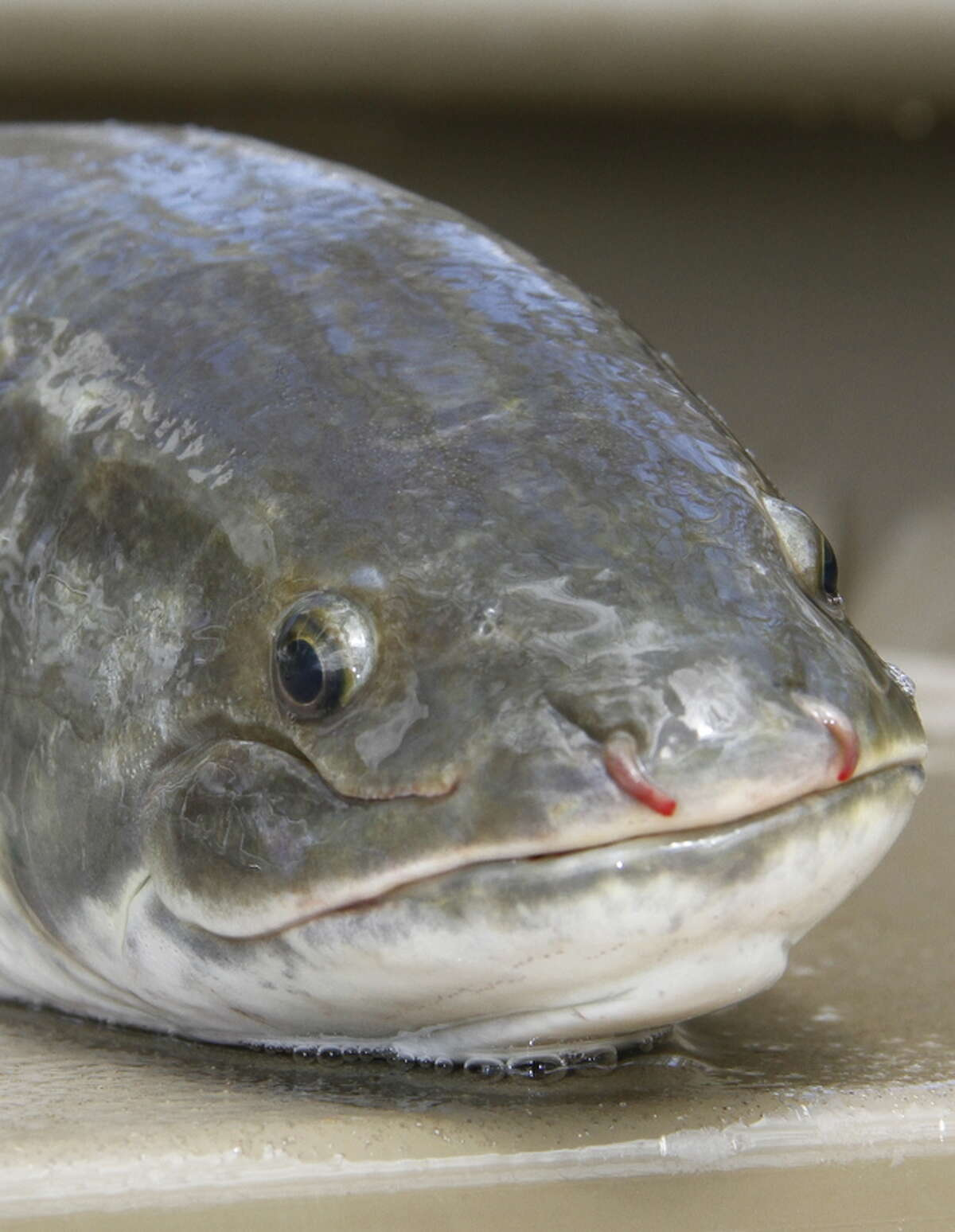 """""""Grinner"""" is one of the bowfin's many colloquial names, almost certainly referring to smile-like shape of the aggressive, hard-fighting swamp-dwelling fish's mouth."""