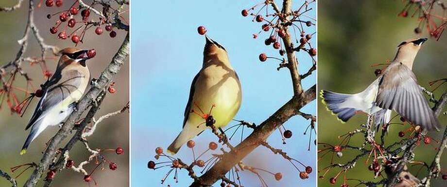 Cedar waxwing birds enjoy berries from a tree on Friday at Dow Gardens. (Photo provided/Cheryl McMahan)