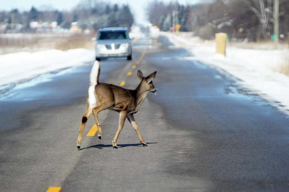 As a car comes bearing down, a courageous young deer makes its way across South Barrie Road outside of Bad Axe, Thursday afternoon. Photo: Seth Stapleton/Huron Daily Tribune